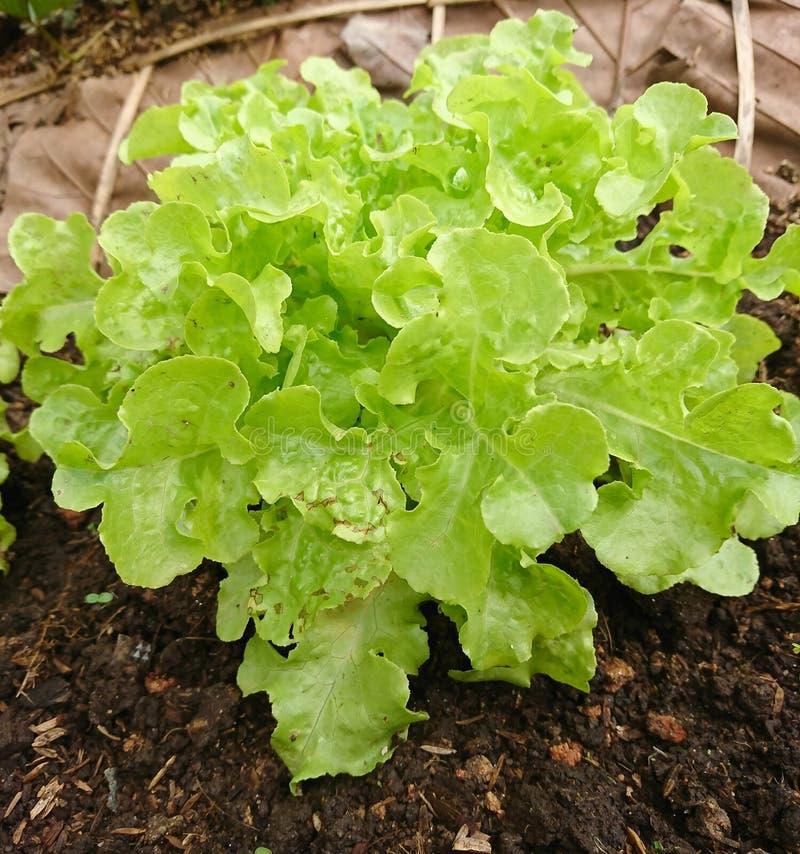 Groene Sla of Lactuca sativa in de organische plantaardige percelen royalty-vrije stock afbeelding