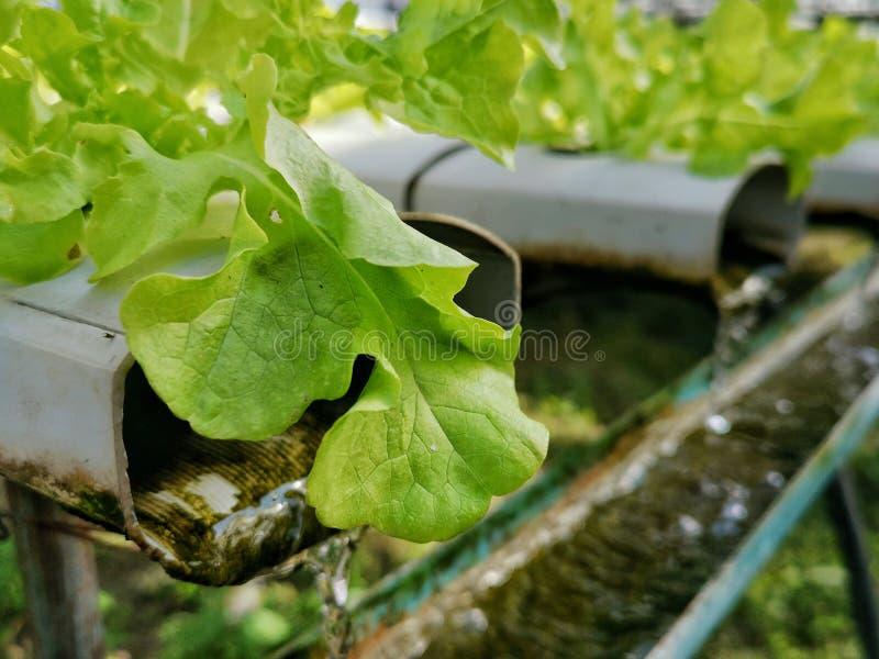 Groene sla, Rode eiken, groene eik, frilliceijsberg, cultuur hydroponic†landbouwbedrijf ‹ groene groente in de markt van de lan stock afbeelding