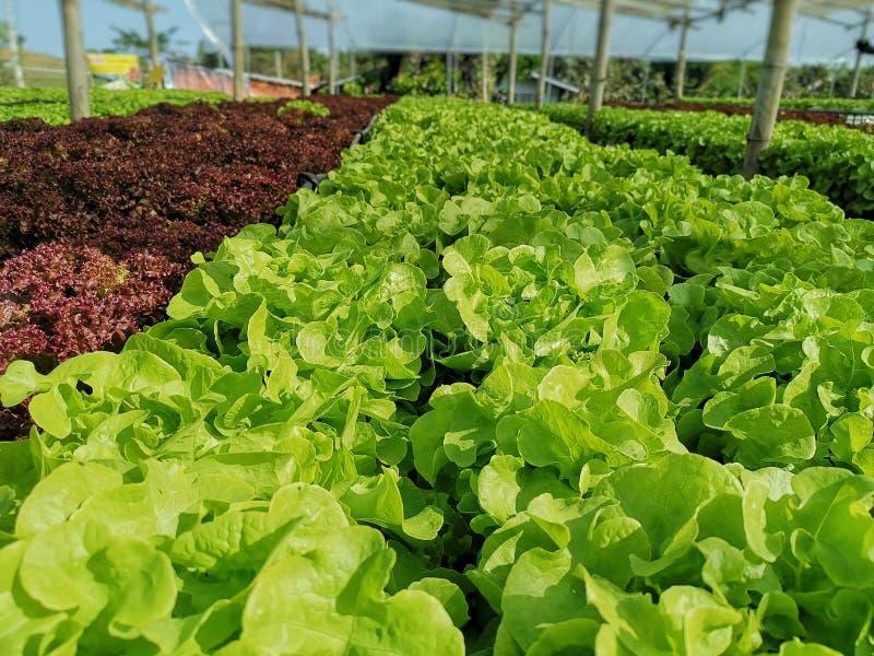 Groene sla, Rode eiken, groene eik, frilliceijsberg, cultuur hydroponic†landbouwbedrijf ‹ groene groente in de markt van de lan royalty-vrije stock afbeelding