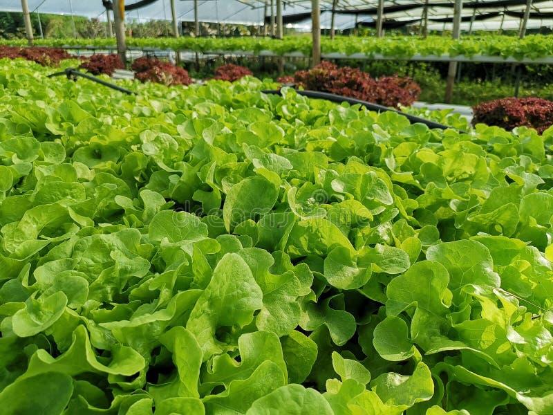 Groene sla, Rode eiken, groene eik, frilliceijsberg, cultuur hydroponic†landbouwbedrijf ‹ groene groente in de markt van de lan royalty-vrije stock foto's