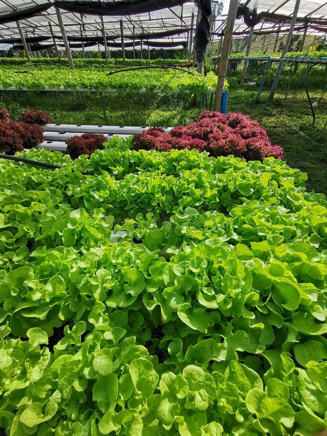 Groene sla, Rode eiken, groene eik, frilliceijsberg, cultuur hydroponic†landbouwbedrijf ‹ groene groente in de markt van de lan royalty-vrije stock fotografie