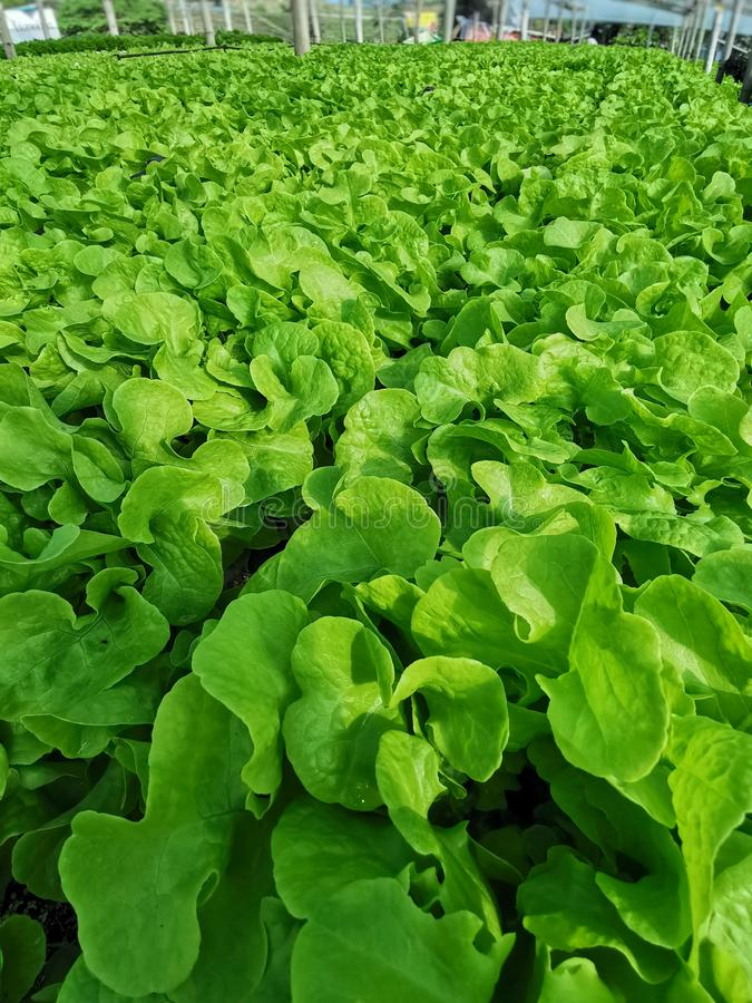 Groene sla, Rode eiken, groene eik, frilliceijsberg, cultuur hydroponic†landbouwbedrijf ‹ groene groente in de markt van de lan royalty-vrije stock afbeeldingen