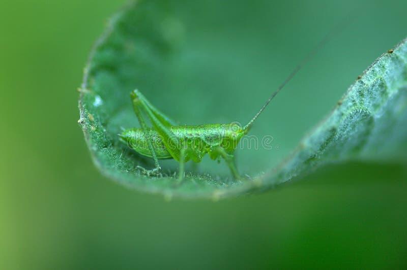 Groene sprinkhaan op blad stock afbeelding