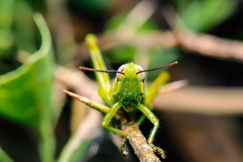Groene sprinkhaan op een nette tak focus op het hoofd van de sprinkhaan stock afbeelding