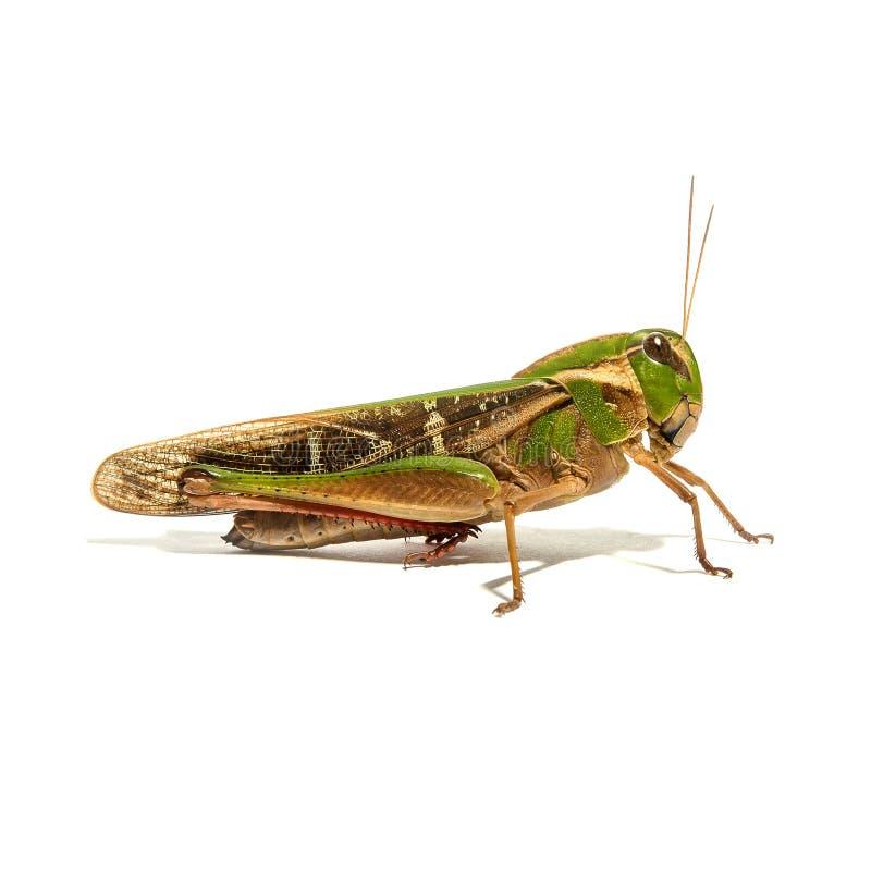 Groene sprinkhaan op een witte achtergrond stock foto