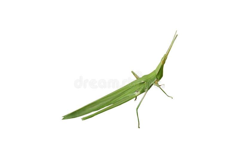 Groene sprinkhaan op een witte achtergrond stock foto's