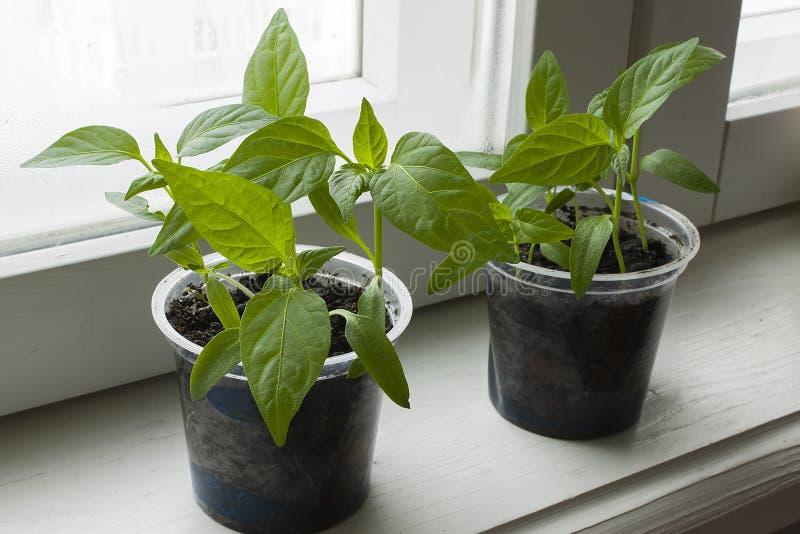 Groene spruit van peper stock foto's