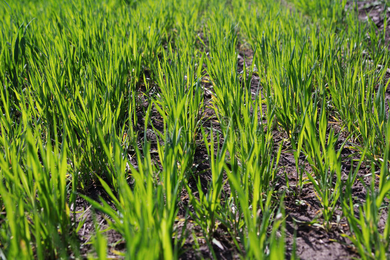 Download Groene Spruiten Van Tarwe Op Het Gebied Stock Foto - Afbeelding bestaande uit life, landbouw: 54083930
