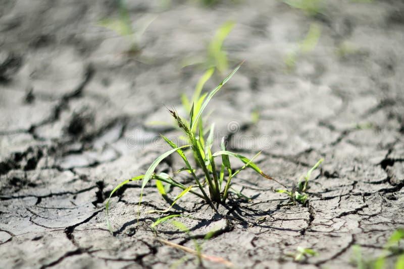groene spruitonderbrekingen door de droge, ontwaterde grond stock fotografie