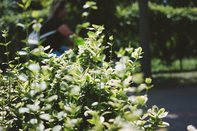 Groene struik dichte omhooggaand Vage vrouw op achtergrond royalty-vrije stock afbeeldingen