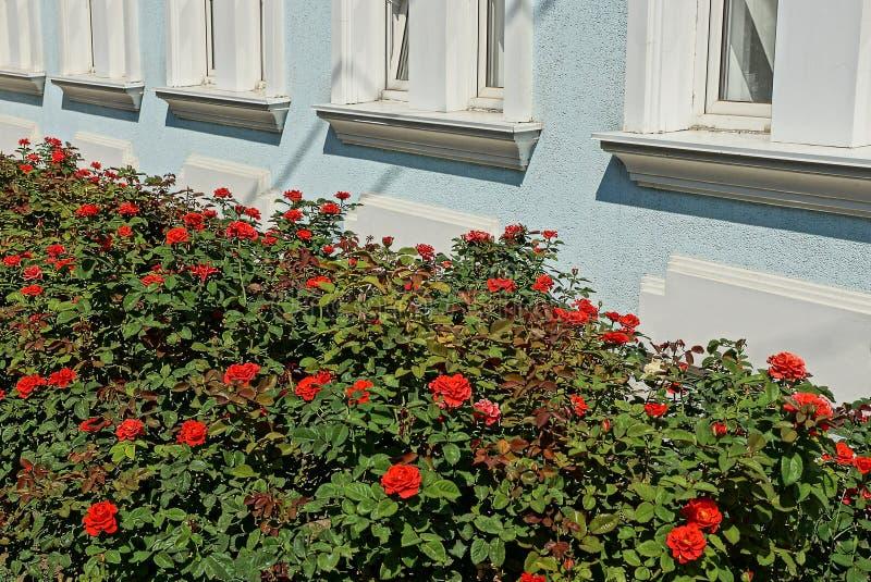 Groene struiken met rode rozen langs een blauwe muur met witte vensters royalty-vrije stock afbeeldingen