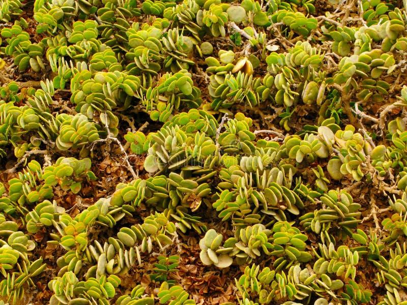 Groene succulente installaties in Namib-woestijn dichtbij Swakopmund in Namibië stock foto