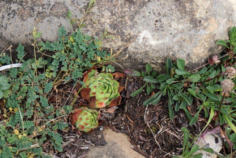Groene succulents in aard stock foto