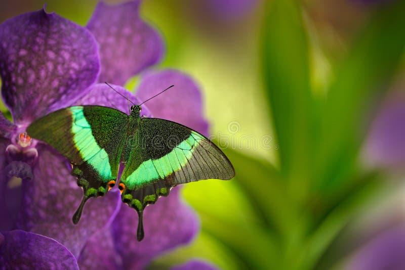 Groene swallowtailvlinder, Papilio-palinurus, op de roze violette orchideebloei Insect in de aardhabitat, die op wildernis zitten royalty-vrije stock fotografie