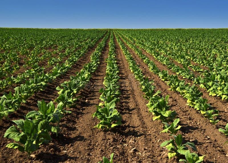 Groene tabak stock fotografie