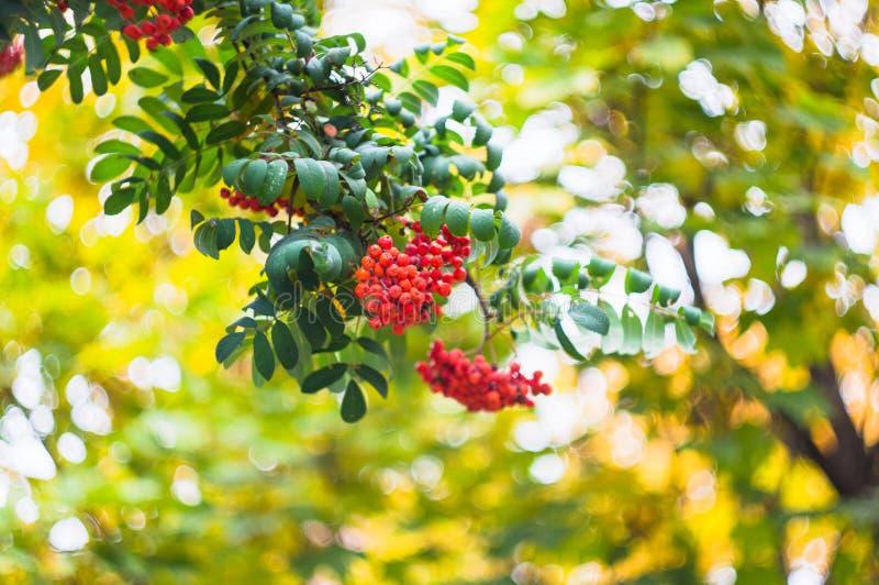 Groene takken met bossen van rode aucuparia van lijsterbessensorbus, boomlijsterbes op een vage achtergrond De kleurrijke achterg stock afbeelding