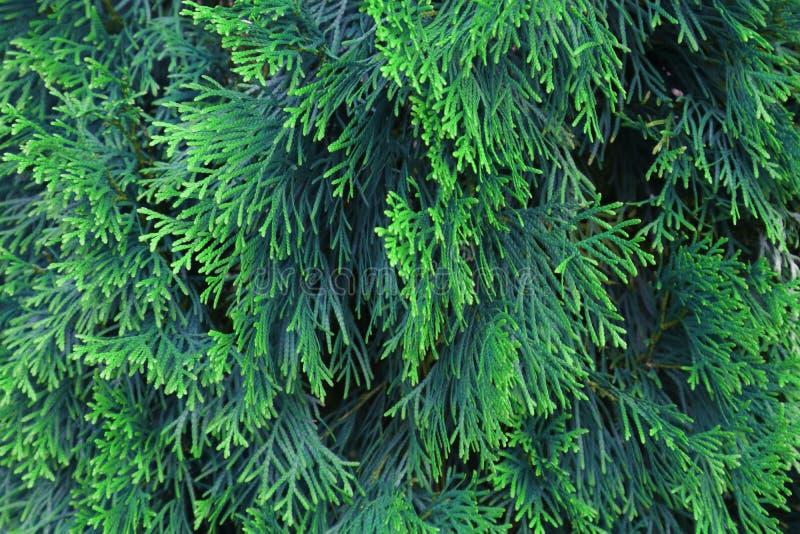 Groene takken van Arborvitae met een natuurlijke blauwe tintachtergrond stock foto's