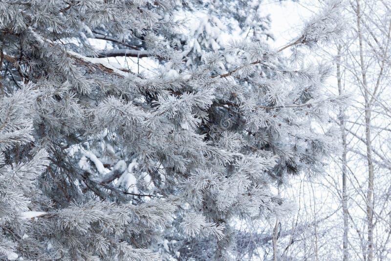Groene takken van de pijnboom en andere bomen bedekte sneeuw en hoarfrost Seizoenen van het jaar royalty-vrije stock afbeeldingen