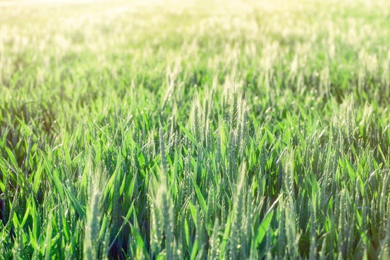 Groene tarwe - het onrijpe die gebied van de tarwetarwe door zonlicht wordt aangestoken stock afbeelding