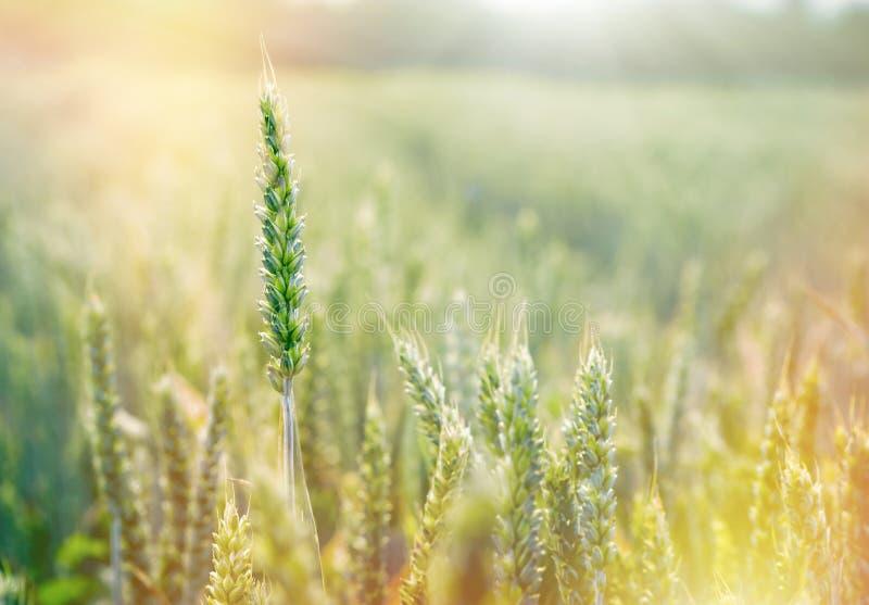 Groene tarwe, onrijpe die tarwe door zonlicht wordt aangestoken - tarwegebied royalty-vrije stock afbeeldingen