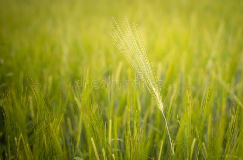 Groene tarwe op het gebied op een de zomerdag stock foto