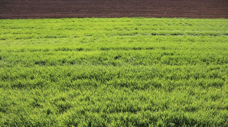 groene tarweinstallaties op het gebied tijdens de lente die en in Th rijpen stock afbeelding