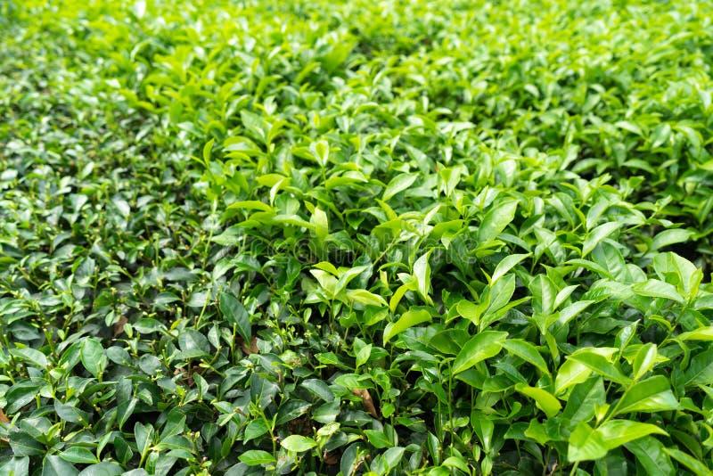 Groene theeaanplanting met geoogst heftbed stock foto