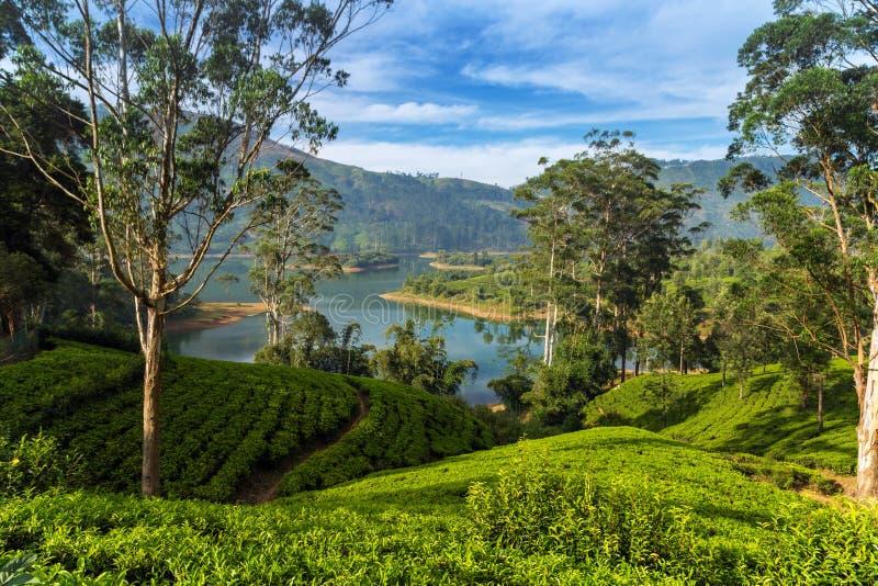 Groene Theeaanplanting op de heuvel, Ceylon, Sri Lanka stock afbeelding