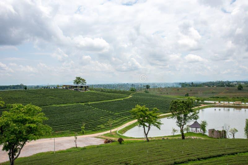 Groene theeaanplantingen, Groen theegebied met hemel en pool stock foto's