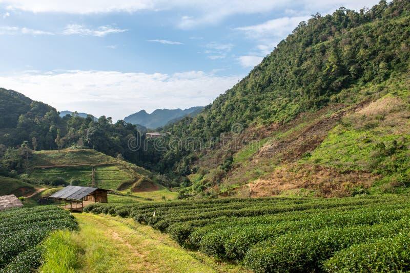 Groene theeachtergrond - de verse bladeren sluiten omhoog op vage achtergrond bij theeaanplantingen in Koninklijk Project Angkhan royalty-vrije stock afbeeldingen