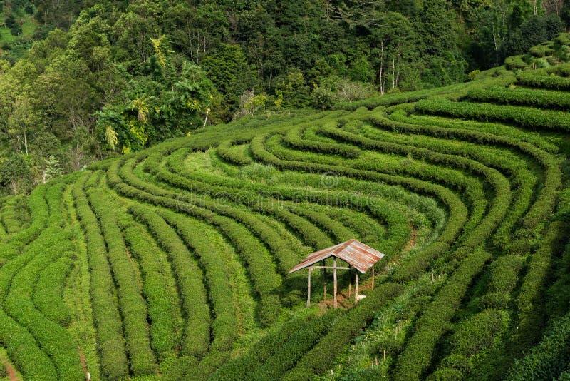 Groene theeachtergrond - de verse bladeren sluiten omhoog op vage achtergrond bij theeaanplantingen in Koninklijk Project Angkhan stock foto