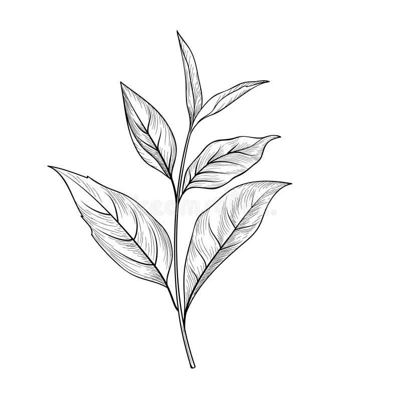 Groene theetak Getrokken het kruidinstallatie van de theebladenschets hand stock illustratie