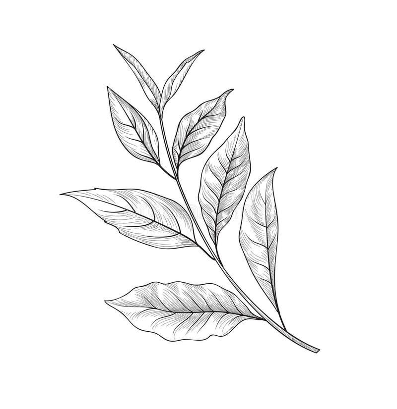 Groene theetak Getrokken het kruidinstallatie van de theebladenschets hand vector illustratie