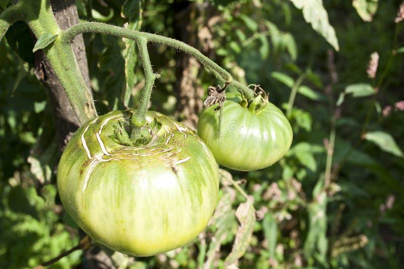 Groene tomaten stock foto's