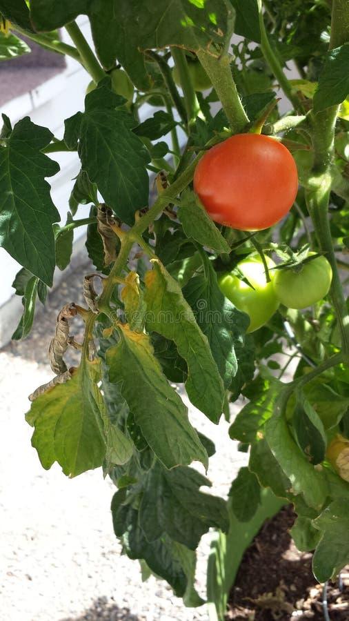 Groene tomaten stock afbeelding