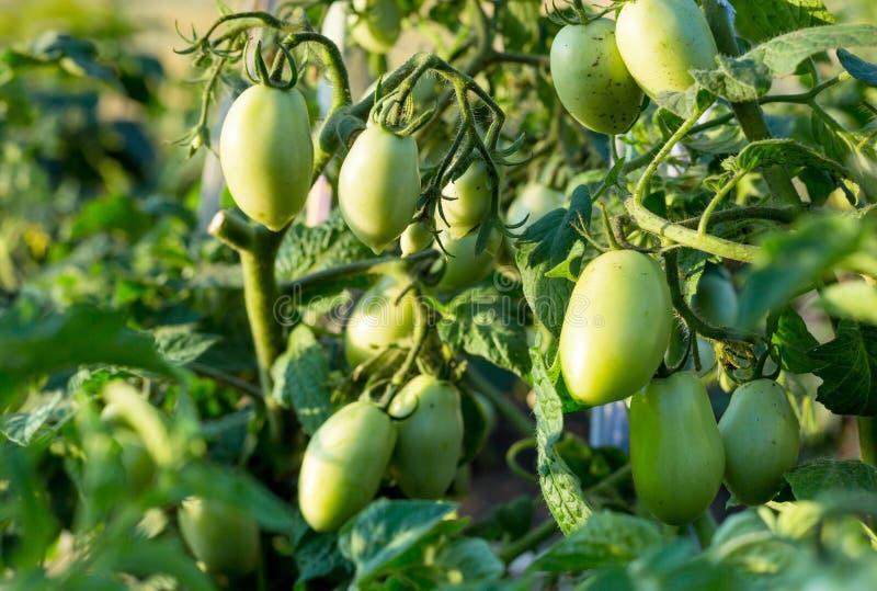 Groene Tomaten in een tuin; sluit omhoog stock foto