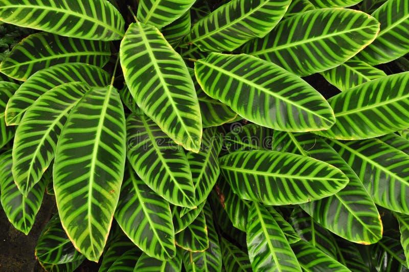 Groene tropische bladeren, achtergrond stock foto's