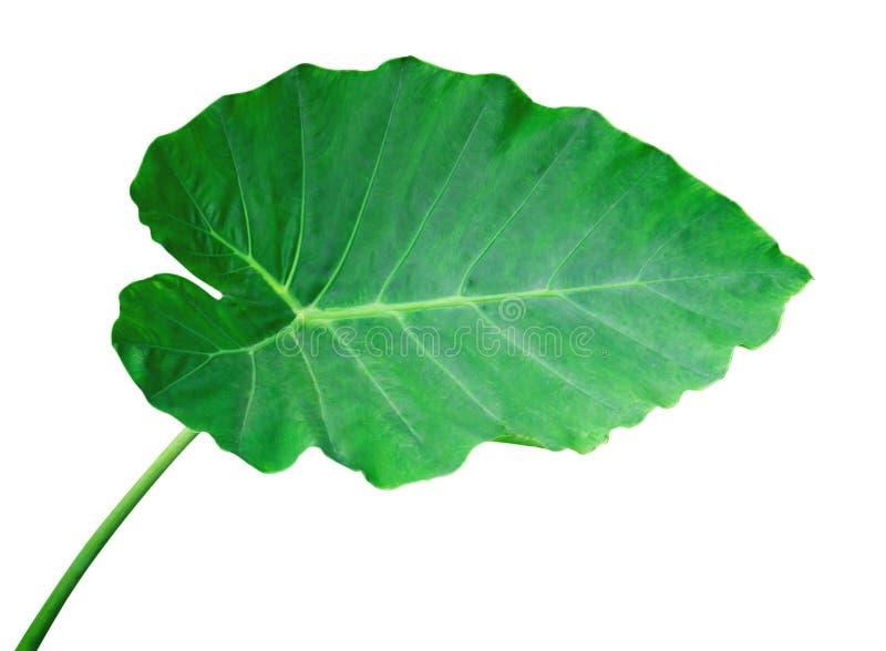 Groene tropische die bladinstallatie op witte achtergrond, Decoratieconcept wordt geïsoleerd royalty-vrije stock afbeeldingen