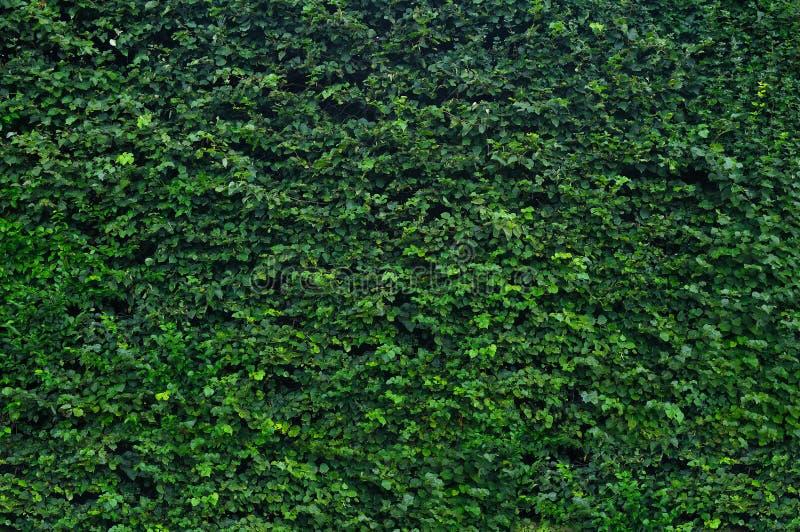 Groene tuinhaag stock foto's