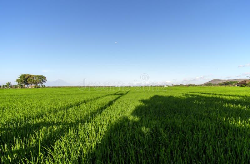 Groene uitgestrektheid van Indonesische padievelden royalty-vrije stock afbeeldingen