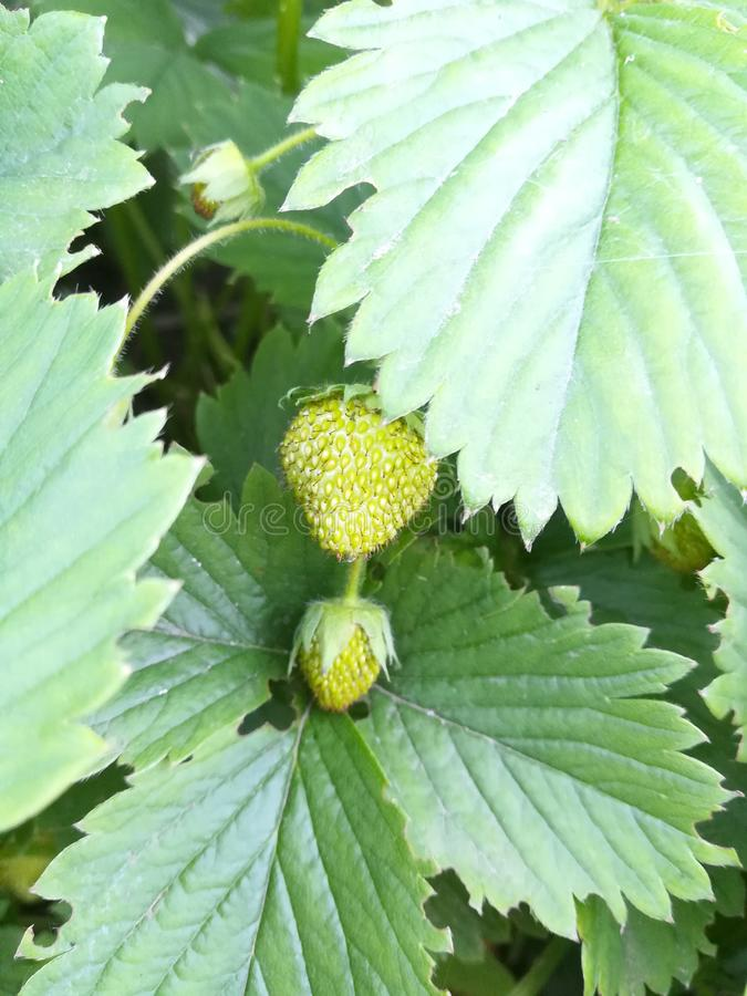 Groene van de achtergrond aardbei verse bes bladerentuin royalty-vrije stock foto