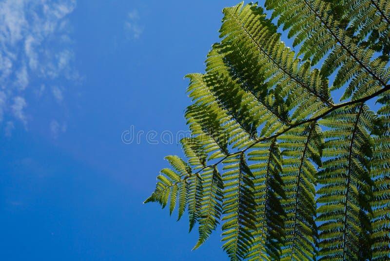 Groene varen in blauwe hemel in Nieuw Zeeland stock afbeelding