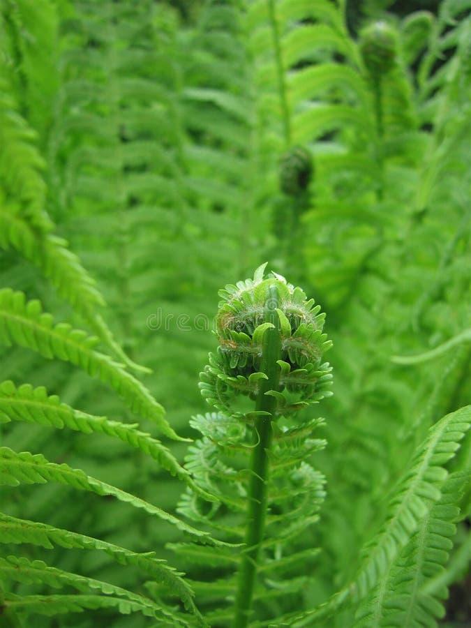 Groene varenbladeren stock afbeeldingen