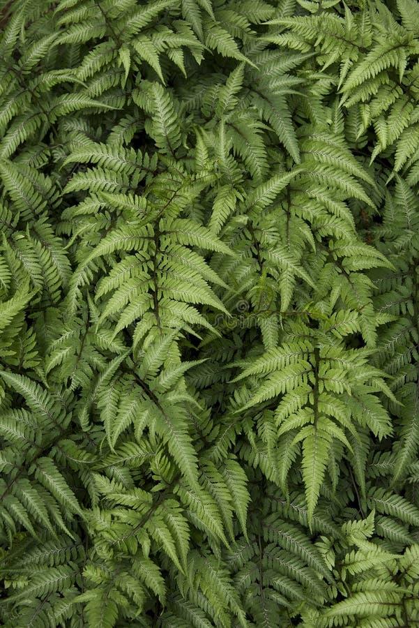 Groene Varens in een Verticaal van het Tuinbed stock afbeelding