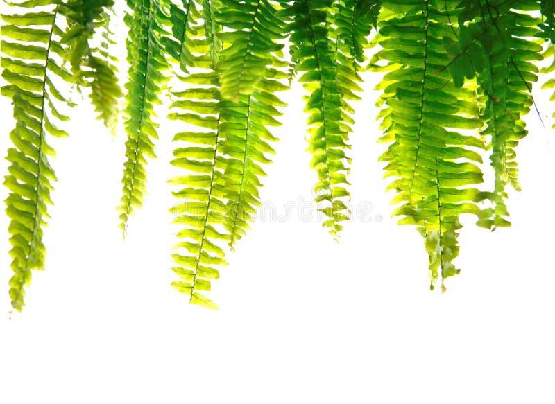Groene varenvarenbladen stock afbeeldingen
