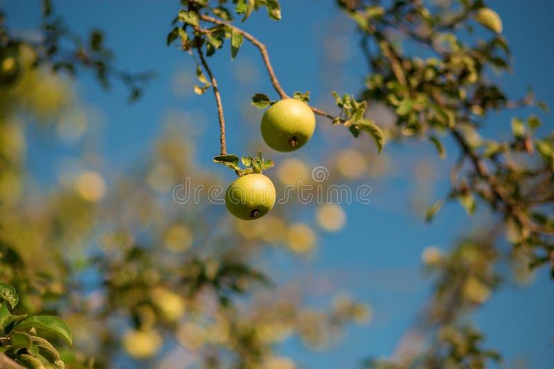 Groene verse appel op tak tegen blauwe hemel royalty-vrije stock afbeelding