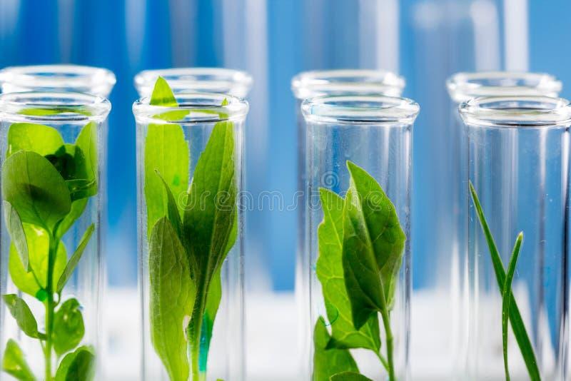 Groene verse die installaties in reageerbuizen in laboratorium zijn gegroeid royalty-vrije stock fotografie
