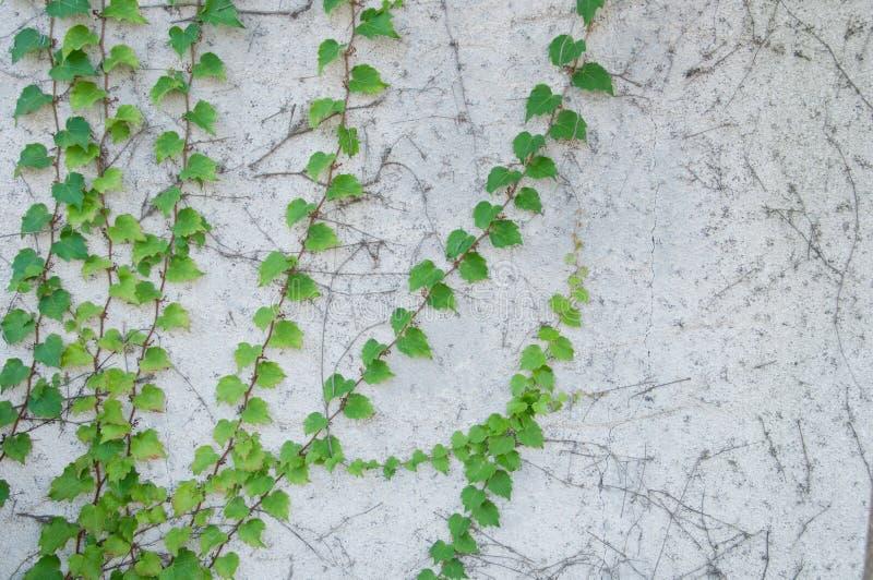 Groene verse klimplant op rustieke witte concrete muur royalty-vrije stock fotografie