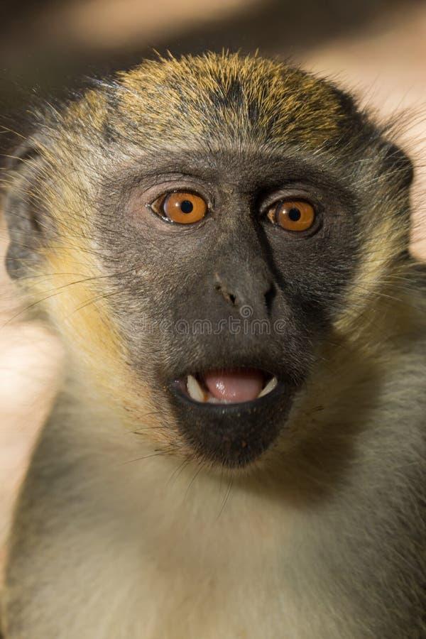Groene Vervet-Apen in het bospark van Bigilo, Gambia stock foto
