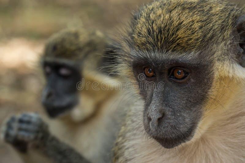 Groene Vervet-Apen in het bospark van Bigilo, Gambia stock afbeeldingen